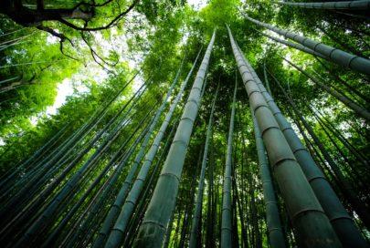 la production de bambou a des conséquences sur l'environnement